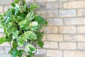 観葉植物ポトスの育て方、楽しみ方、風水情報をプロが解説