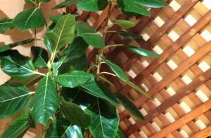 5ゴムの木