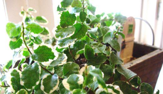 フィカス・プミラの育て方、楽しみ方、風水情報【観葉植物図鑑】