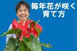 アンスリウムの花を毎年咲かせる育て方4つのポイントとアンスリウムの風水