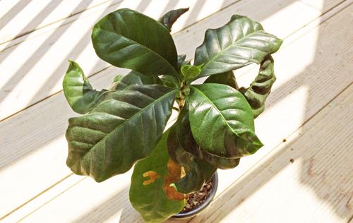 5コーヒーの木
