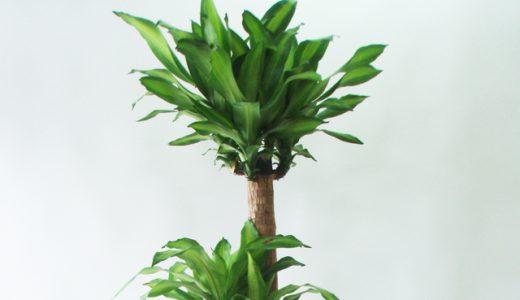 ドラセナ・マッサン(幸福の木)の楽しみ方、育て方、風水情報