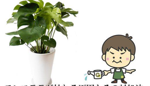 プロが解説!観葉植物モンステラの育て方、枯れる原因とその対処法