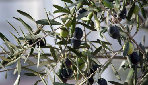 オリーブの木の楽しみ方、目的に応じた選び方