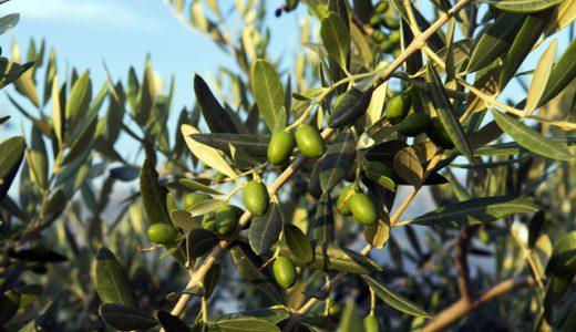 オリーブの木に実がつかない原因と実をつけるために必要なこと