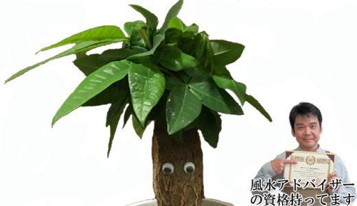 プロが解説!観葉植物パキラの育て方、お手入れ方法、風水効果